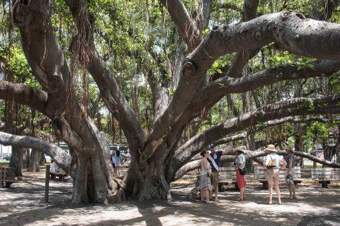 Banyan tree, Lahaina, Maui