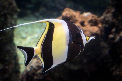 Moorish Idol fish, Maui Ocean Centre, Maui