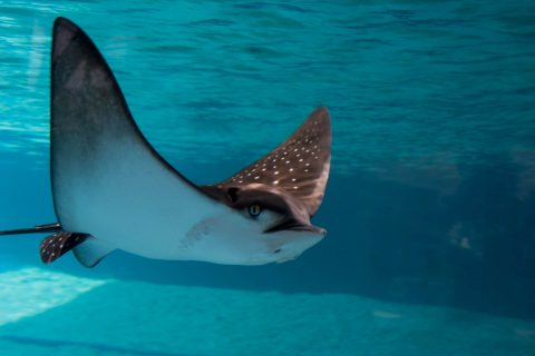 Spotted eagle ray, Maui Ocean Centre