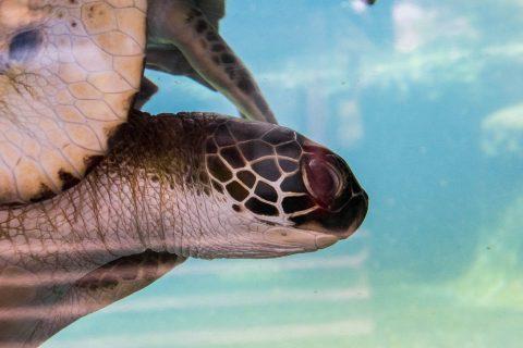 Sea turtle, Maui Ocean Centre
