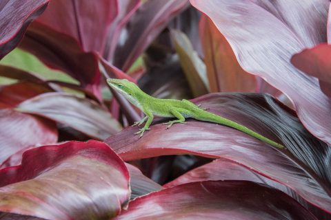 Lizard, Maui