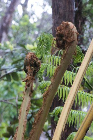 Tree ferns, Big Island