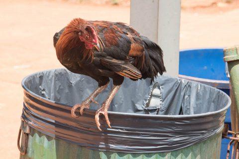 Feral chicken, Kauai