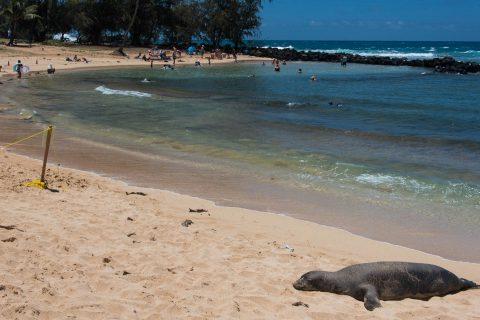 Hawaiian Monk Seal, Po'ipu Beach, Kauai