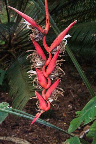 Lobster claw orchid, Kauai