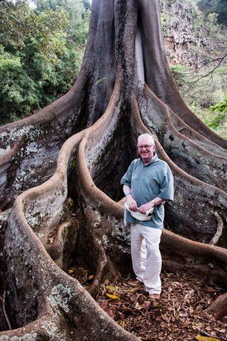 Moreton Bay Fig tree roots, Kauai