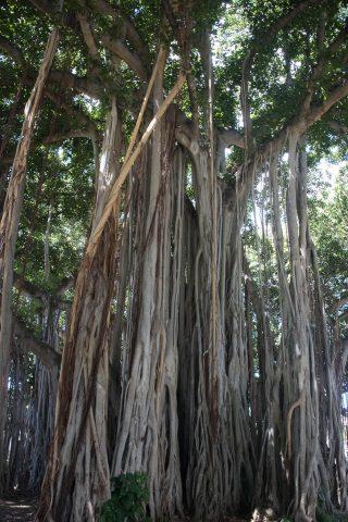 Banyan tree, Honolulu, Oahu
