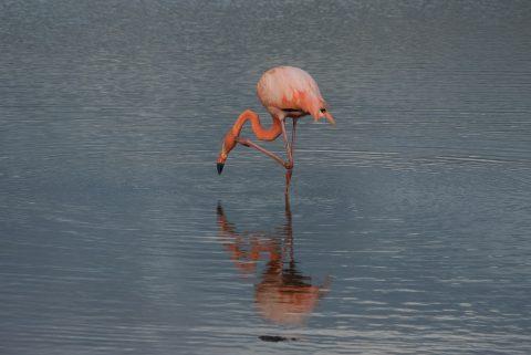 greater FLamingo, Sanat Cruz