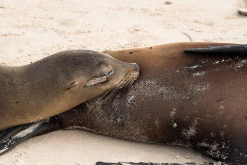 Sea lion, Santa Cruz