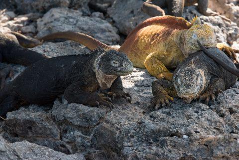 Marine and Land Iguanas, South Plaza