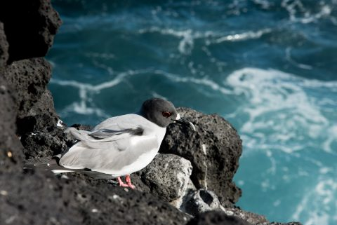 Swallow Tailed gull, South Plaza