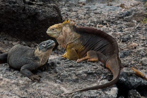 Land and marine iguanas, South Plaza