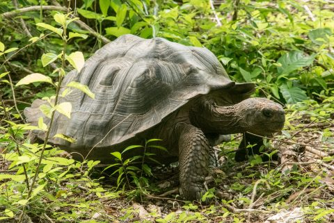 San Cristobel tortoise
