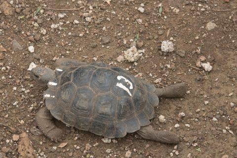 San Cristobel tortoise - baby