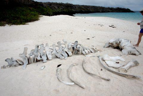Whale bones, Gardner Bay, Espanola