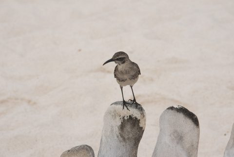 Galapagos mockingbird, Espanola