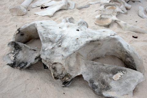 Whale skull, Espanola