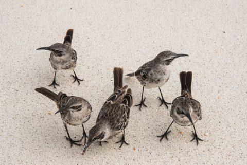 Galapagos mockingbirds, Espanola