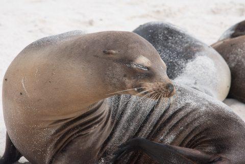 Sea lion, Espanola
