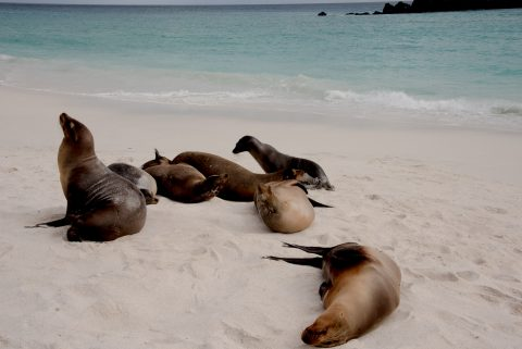 Sea lions, Espanola