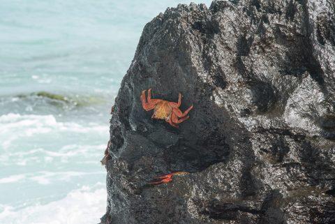 Sally Light Crabs, Espanola