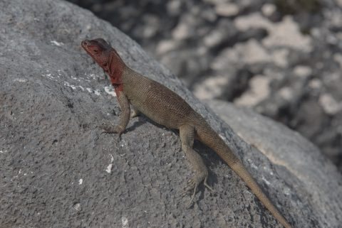 Lava lizard, Espanola
