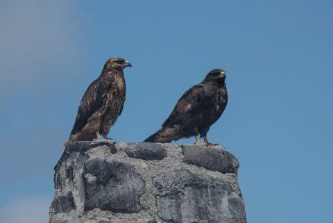 Galapagos hawks, Espanola
