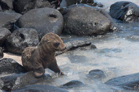 Baby sea lion, Espanola