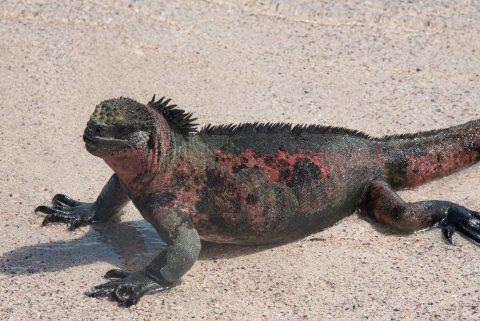 Marine Iguana, Espanola