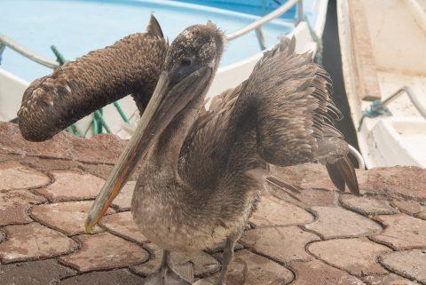 Pelican, Fish mrket visitor, Puerto Ayora