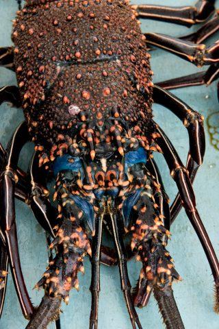 Lobstoer for sale at fish market, Puerto Ayora