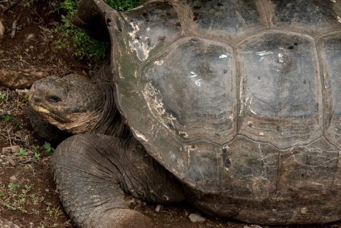 Tortoise, Charles Darwin Research centre, Puerto Ayora
