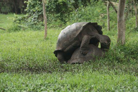Mating tortoises, ranch near Puerto Ayora
