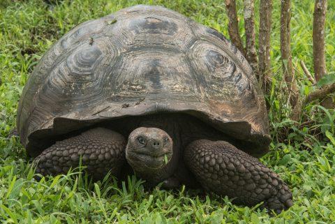Tortoise, ranch near Puerto Ayora