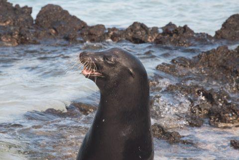 Sea Lion, Sombrero Chino island