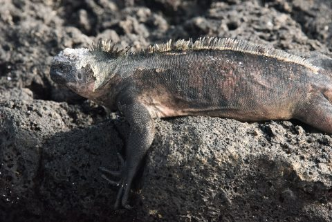 Marine iguana, Sombero Chino island