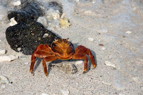 Sally light foot crab, Sombrero Chino island
