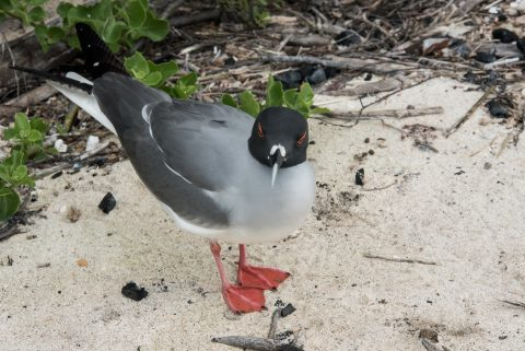 Swallow tailed gull, Darwin Bay, Genovesa