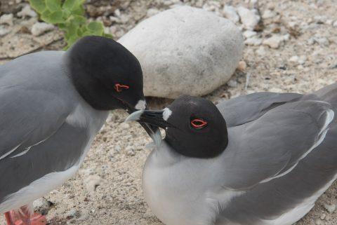 Swallow tailed gulls, Darwin Bay, Genovesa