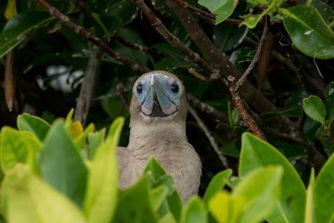 Red footed booby, Darwin Bay, Genovesa