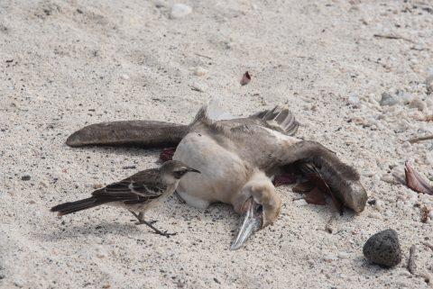 Galapagos Mockingbird scavening, Darwin Bay, Genovesa