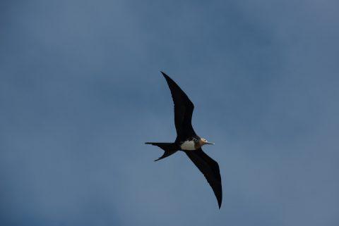 Frigate bird, Darwin Bay, Genovesa