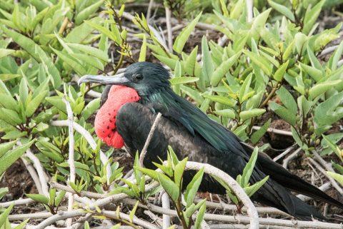 Frigate bird, Genovesa