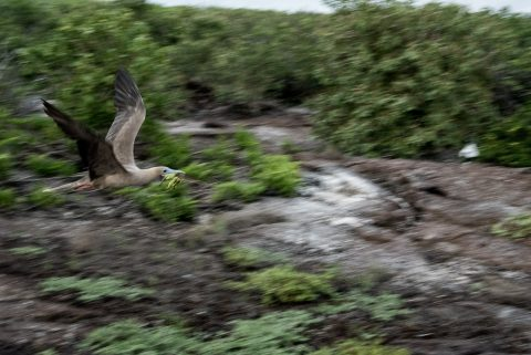 Red footed bobby in flight, Genovesa