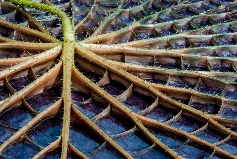 Amazon Waterlily, Botanic Gardens, Adelaide