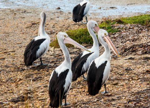 Pelicans, American River, Kangaroo Island