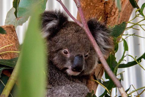 Koala, KI Wildllife Park