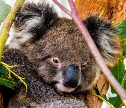 Koala, Kangaroo Island, South Australia