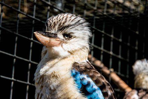Laughing Kookaburra, KI Wildlife Park