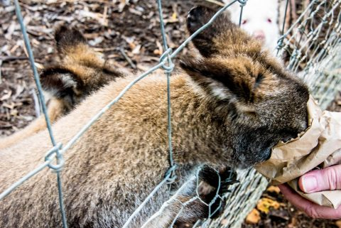 Feeding the wallabies, KI Wildlife Park